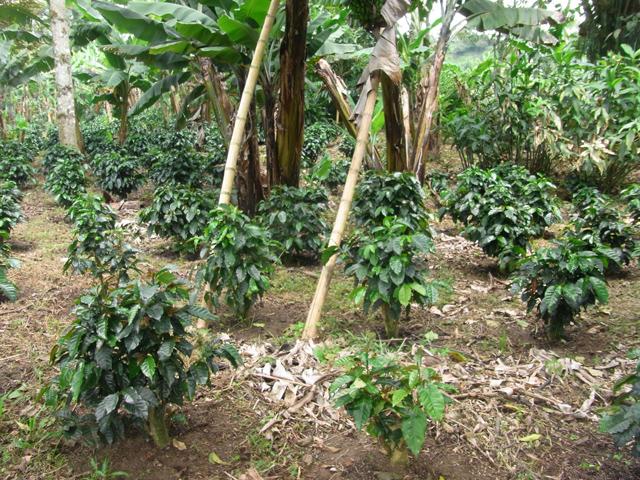 まだ若いコーヒーの木
