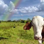 vacaは牝牛のことを指す