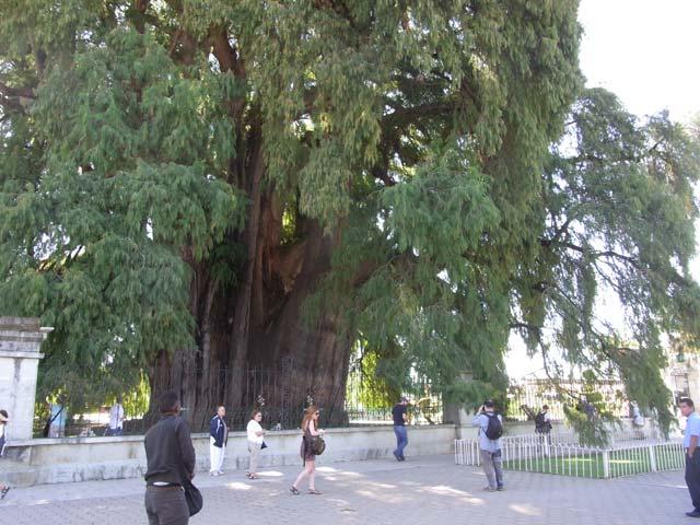 オアハカ郊外の町にあるトゥーレの木