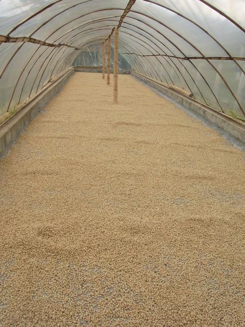 コーヒー豆の天日干し